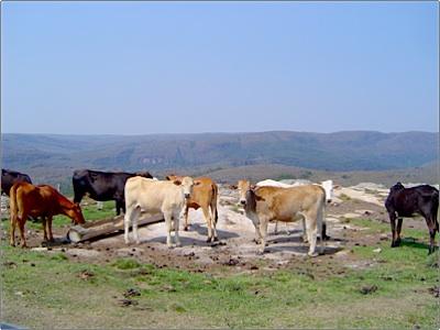 Guartela - Vacas